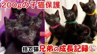 【保護猫 子猫 捨て猫】黒猫4匹 捨てられていた子猫の成長記録 ~保護から巣立ちまで~