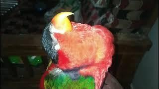 parrot talking മലയാളം റെഡ്മി മിന്നൂന്ടെ പാട്ട് കേട്ടു മയങ്ങി