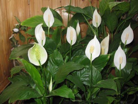 ЖЕНСКОЕ СЧАСТЬЕ не цветет | Как заставить цвести СПАТИФИЛЛУМ