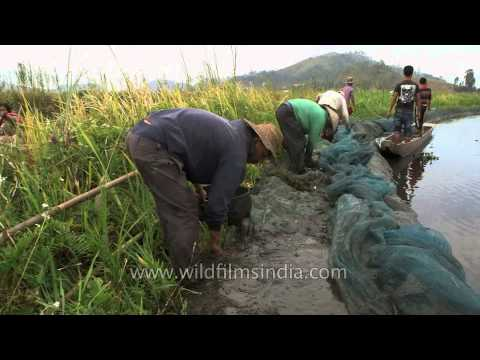Fish harvesting at Loktak Lake