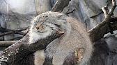 Манул — животное размером с домашнюю кошку: длина его тела 52—65 см, хвоста. Как же сука надо не любить животное чтобы хотеть его купить!
