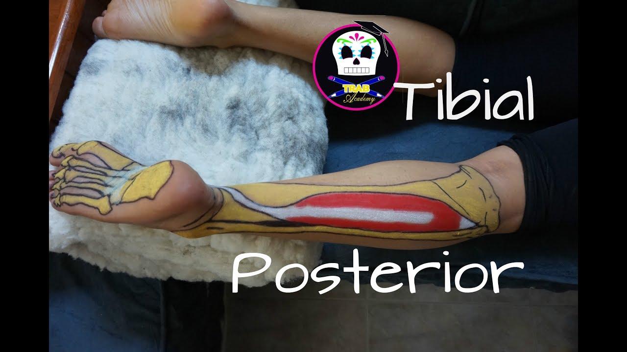 Tibial Posterior /Anatomía - YouTube