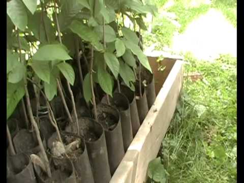 Pawpaw Project Part 6 Pawpaws In Pots Youtube