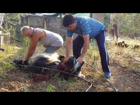 Slaughtering sheep and goats in Italy...