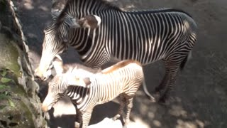Baby Zebra and mom.シマウマの母子。 Tama Zoological Park.多摩動物公...