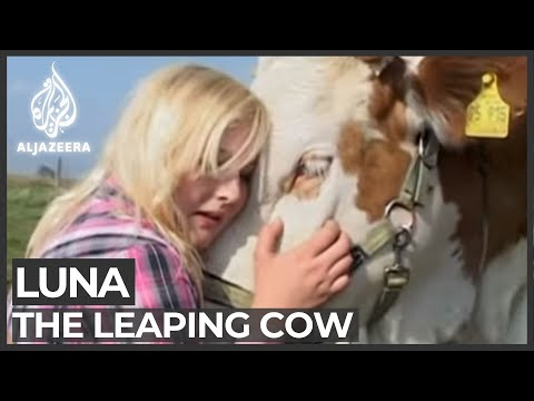 Luna the leaping cow