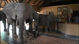 Watch These Elephants Walking Through African Safari Lodge | Real Biz with Rebecca Jarvis