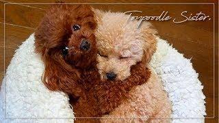 くっついて離れない,仲良しトイプードル(子犬)の可愛い日常|Toy poodle Sister|토이푸들 자매[pepepets] thumbnail