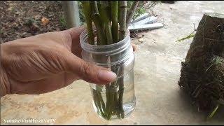 Cách ươm kie phong lan Hoàng Thảo Đùi Gà độc nhất - Ai biết chưa?
