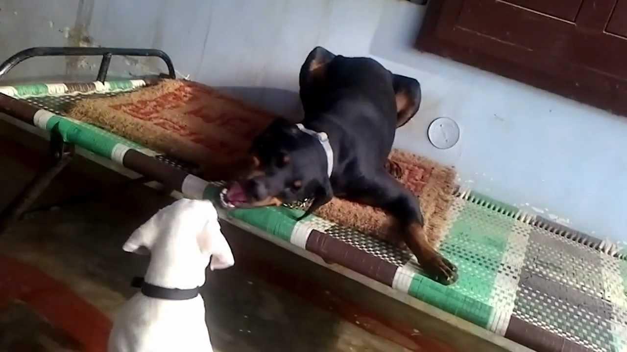 Rajapalayam India  city photo : ... The Friendship of Doberman and Indian Rajapalayam dog YouTube