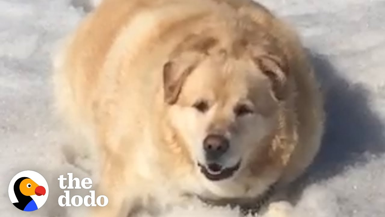 Watch This Chunky Golden Lose 100 Pounds   The Dodo