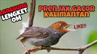 BURUNG PRENJAK GACOR KALIMANTAN ALAMI DI HUTAN | KEKEKEKE BRO | PREMIUM MP3 FREE