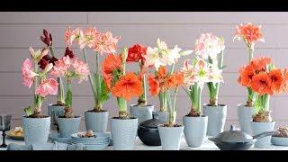 видео Гиппеаструм, уход в домашних условиях за цветком чтобы заставить его цвести