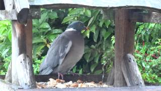 Pigeon Sheltering Bird Table Garden Cottage Scone Perth Perthshire Scotland