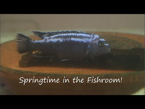 Spring Time In The Fishroom Breeding Johanni