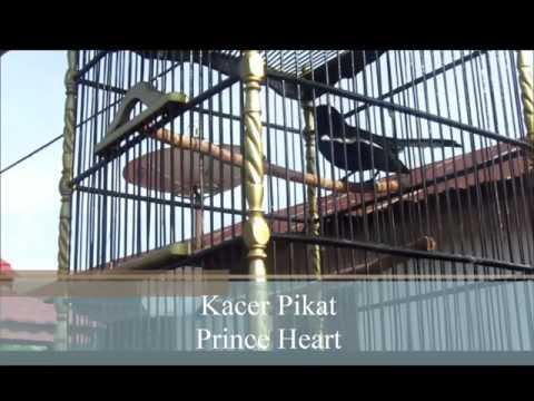 Kacer Pikat Gacor (Magpie Robin)