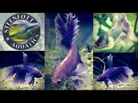 Breeding Fish For Profit Aquarium, Betta Fish And Guppy Fish Update | LifewithPets Tank Divider