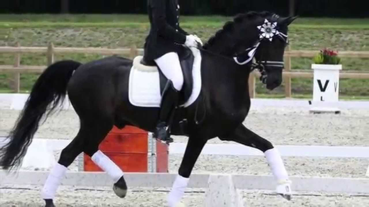 Aubepines Fei 1: Top FEI Dressage Pony For Sale