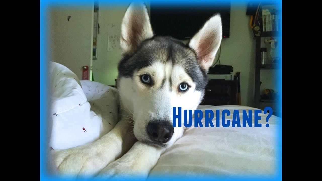 Husky During Hurricane?!
