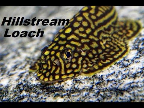INTERESTING FISH, HILLSTREAM LOACH