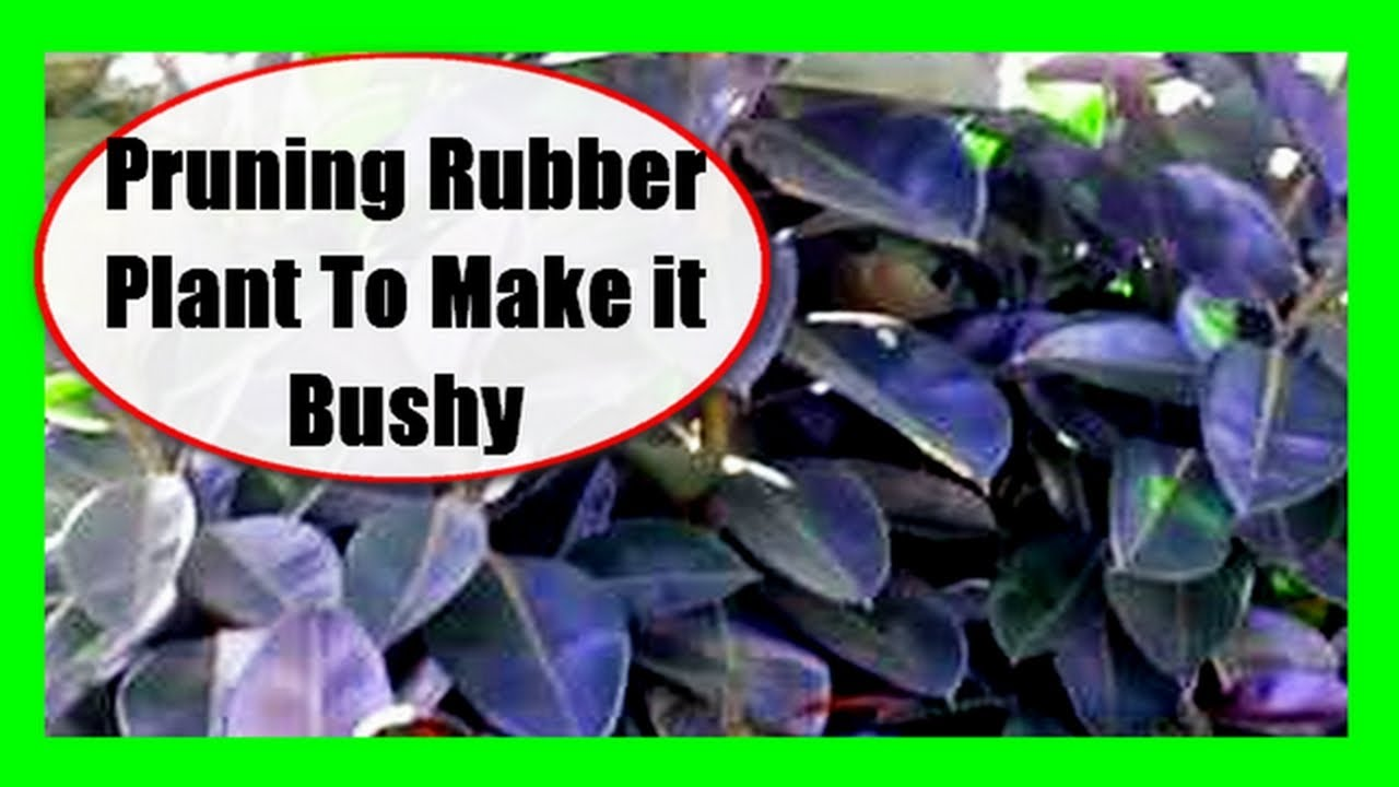 How To Prune A Rubber Plant To Make It Bushy Youtube