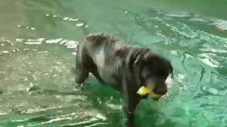 災害救助犬のアラミス、水難救助の為に水泳トレーニング中.