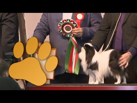 Amsterdam Winner 2013 Group 9, Companion and Toy dogs