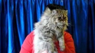 Персидская золотая шиншилла - выставка кошек PCA