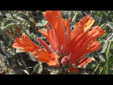 Agastache: Agastache aurantiaca (www.riomoros.com)