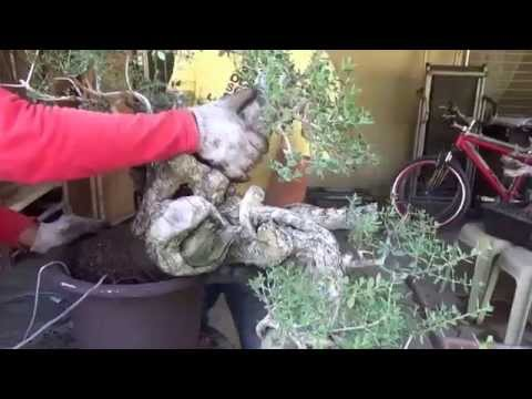 A Day in the Life of Bonsai Iligan: Repotting a Large Pemphis Cascade.