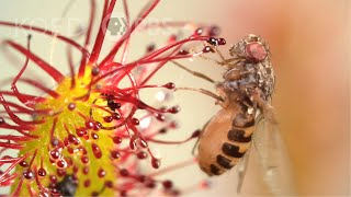 Cape Sundews Trap Bugs In A Sticky Situation | Deep Look