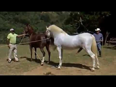Креольский конь и картезианская лошадь