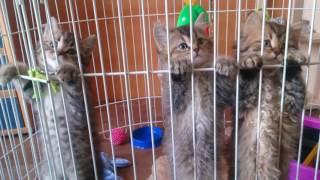 Предлагаются к продаже британские котята с родословной в качестве домашних любимцев 89622269711