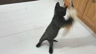Смешные кошки играют игрушкой