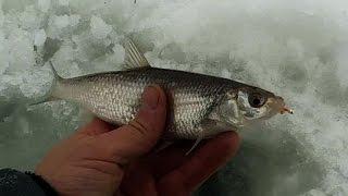 Ловля плотвы (и не только) на течении зимой