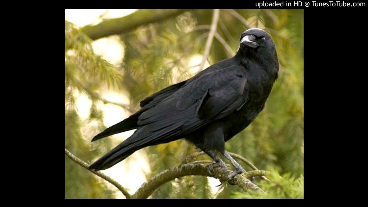 Download Suara Kicau Burung Gagak Youtube