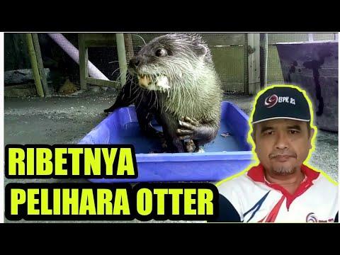 nanootterkampung #babyotter #merawatbayiotter tips ini berdasarkan pengalamanku peliara beberapa bayi otter dari merem....
