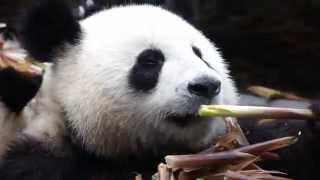 Какую кухню предпочитают панды?