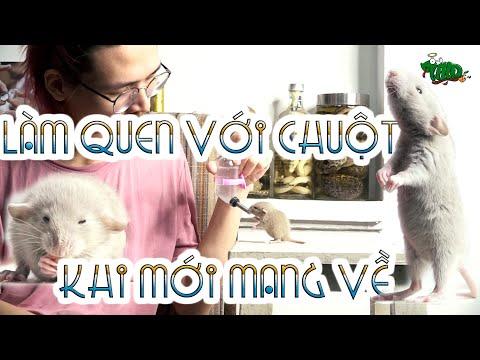 Làm quen với 1 chú chuột RAT khi mới mang về NTN???  Cần chuẩn bị gì khi nuôi chuột | WILDVN TV