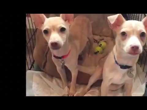 Paulie and Davie - Chihuahua Puppies for Adoption from MCAS