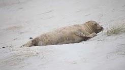 Helgoland Düne Robben Januar 2018