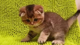 НЕДОРОГО! Шотландские котята! Вязка с Чемпионом! 89038745821