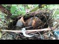 Anakan Burung Cendet Di Alam Liar  Mp3 - Mp4 Download
