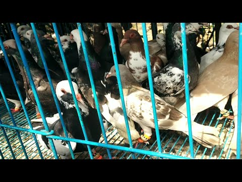 Delhi Jama Masjid bird market latest update part-2 || 3 / march / 2019