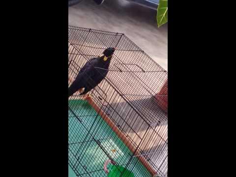 Burung tiong boleh tiru suara