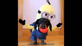 The Dachshund Minions Compilation!