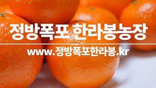 정방폭포한라봉농장 제주한라봉 제주황금향 제주레드향  감…