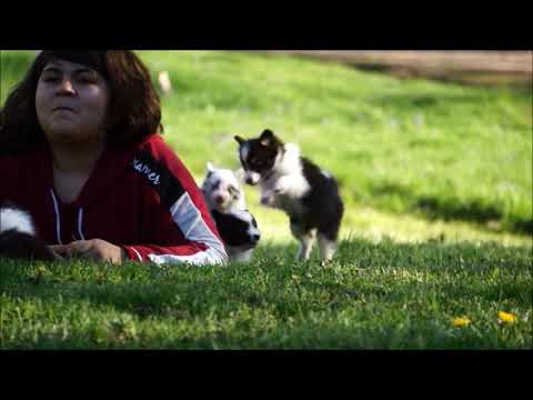 Playful Shetland Sheepdog Puppies
