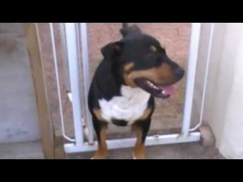 English Bull Terrier X Rottweiler Pup YouTube - Terrier and rottweiler