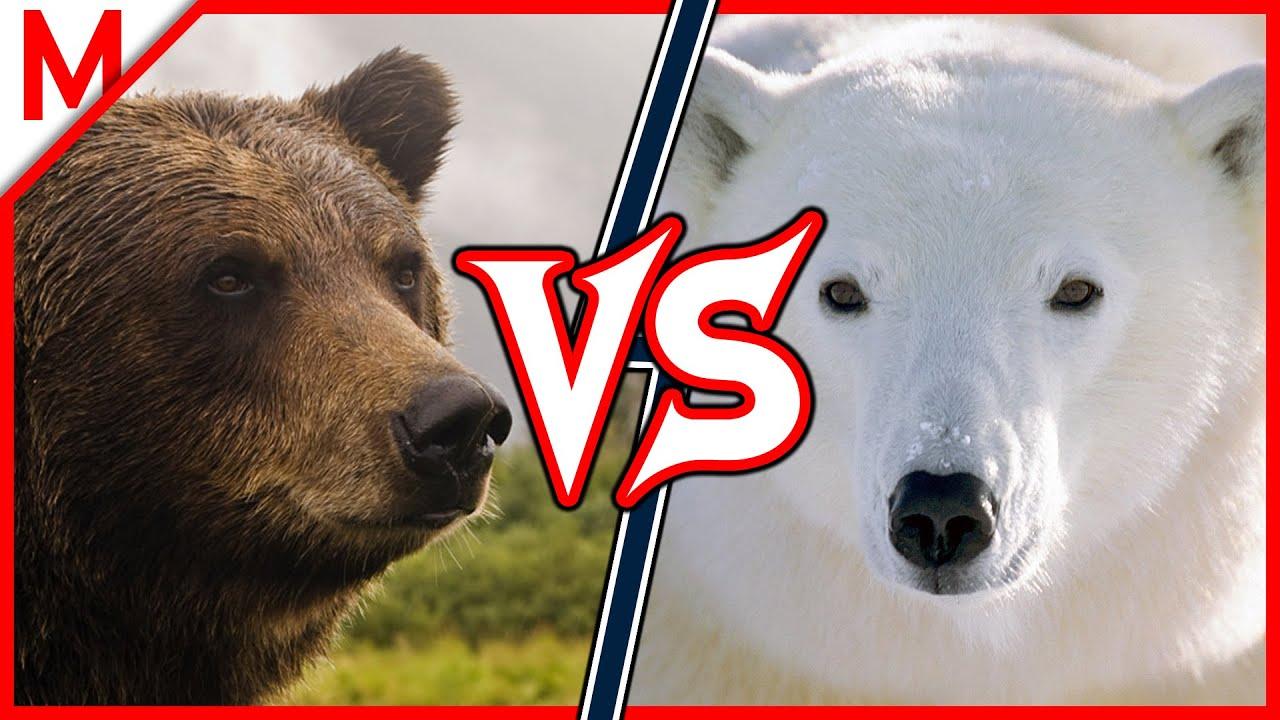 Grizzly Vs Polar Bear Animal Battle Jaguar Vs Leopard Winner Youtube